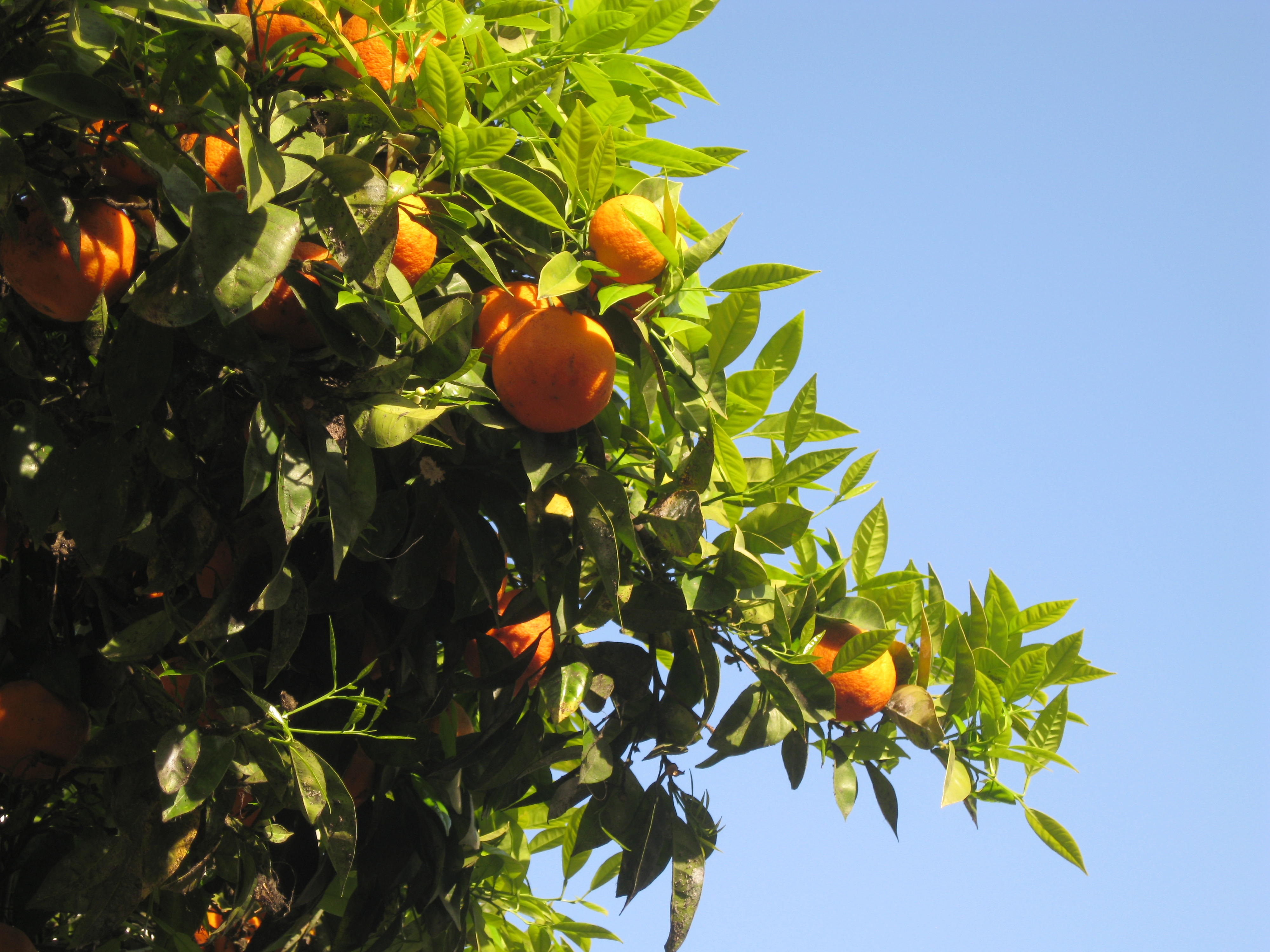 Algarve orange trees