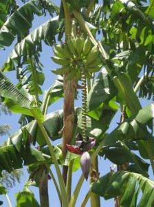 Algarve Banana Tree