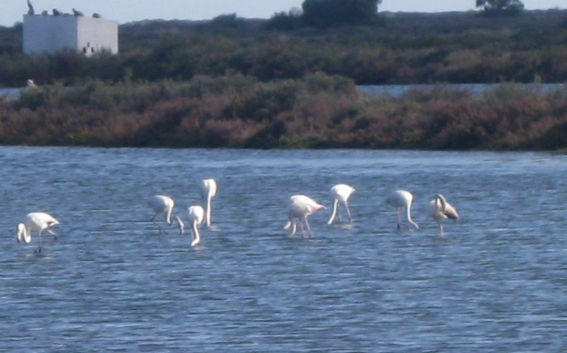 Flamingoes in the Ria Formosa, 23rd December 2010