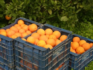 Living in Portugal - The Start of the Orange Harvest