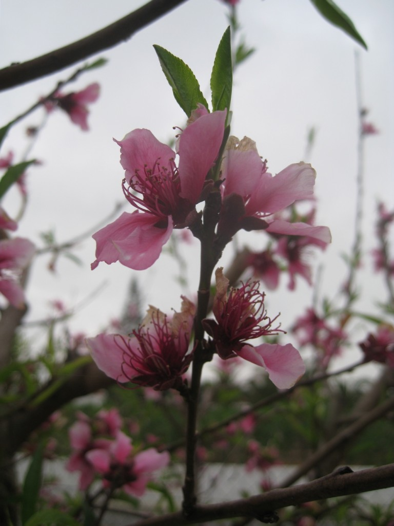 Portugal Peach Blossom