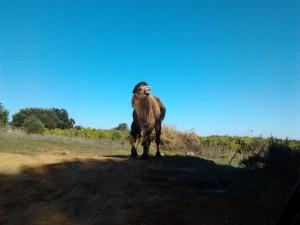 Algarve Christmas Camel!