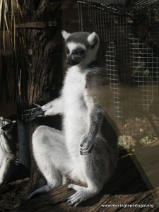 Lemur at Jerez Zoo