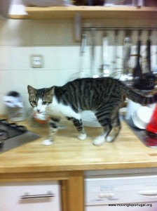 Kitten charging around the worktop at feeding time