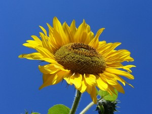 Sunflowers - a sure sign of summer in Portugal