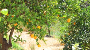 Oranges in the orchard